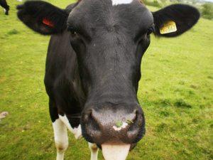 cow-300x225