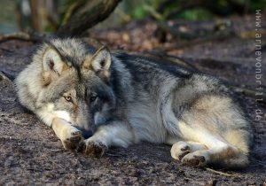 Gray-Wolf-300x210