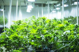 cannabis-grow